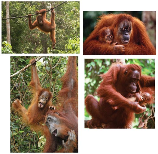 orangutans photos